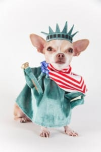 4th of July Chihuahua