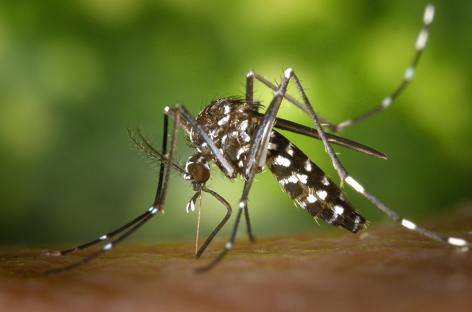 Tiger mosquito 49141 960 720