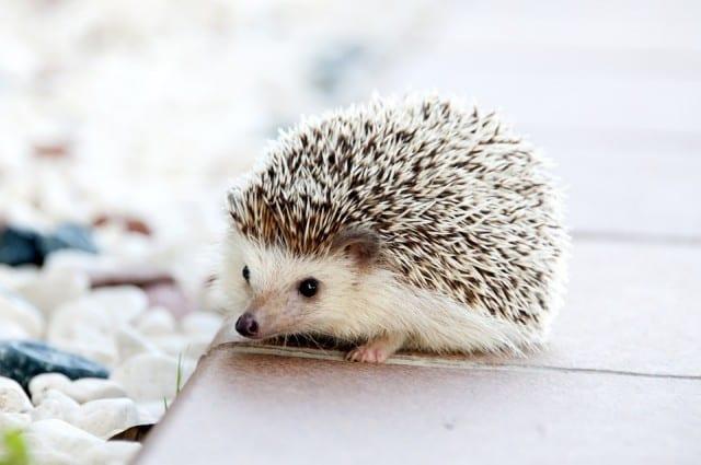 hedgehog-pet-gift-guide