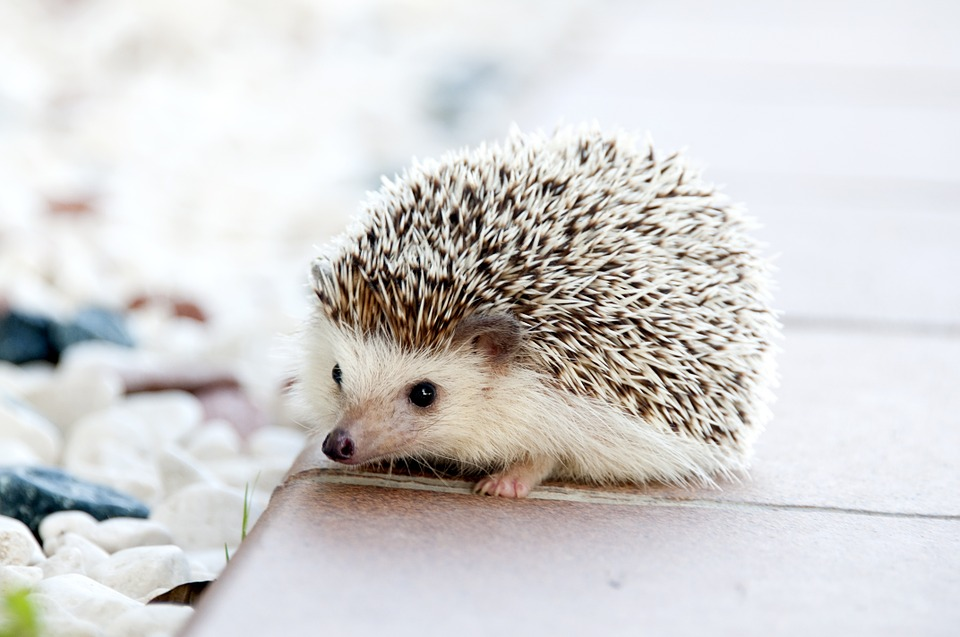 hedgehog-pet-gift-guide